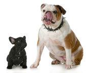 Big dog small dog — Stock Photo