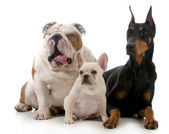 Tři psi — Stock fotografie