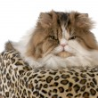 Long haired cat - Stock Photo
