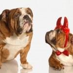 English bulldogs — Stock Photo #24018725