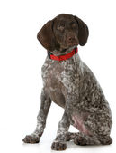 German shorthaired pointer — Stock Photo