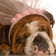 English bulldog wearing pink veil — Stock Photo