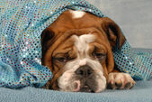 English bulldog resting under sparking blue blanket — Stock Photo
