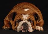 Engelsk bulldogg vilar på svart bakgrund — Stockfoto