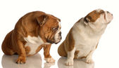 Funny dog fight - two english bulldog arguing — Stock Photo