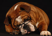 English bulldog wearing glasses — Stock Photo