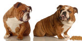 Two english bulldogs arguing over dog food — Stock Photo