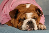 English bulldog laying down with cute expression dressed in pink sweatsuit — Stock Photo