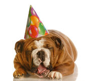 English bulldog wearing birthday hat yawning — Stock Photo