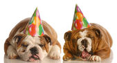 Two english bulldog wearing birthday hats complaining about the situation — Stock Photo