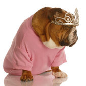 English bulldog with annoyed expression wearing pink shirt and tiara — Stok fotoğraf