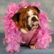 Spoiled dog with pink boa and tongue sticking out — Stock Photo