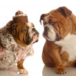 English bulldogs - Stock Photo