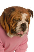 English bulldog with sour face as though tasting something awful — Stock Photo