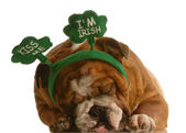 St. patricks day - english bulldog wearing st. patricks day headband — Stock Photo