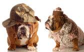 Anglicky bulldogs — Stock fotografie