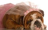 English bulldog — Stock Photo