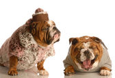 English bulldogs — Stock fotografie