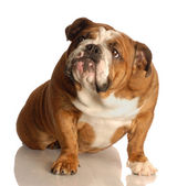 English bulldog — Stock Photo