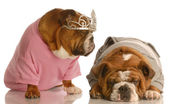 English bulldogs — Stock Photo