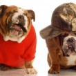 English bulldogs — Stock Photo #24073313