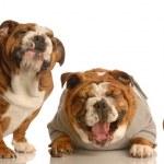 English bulldogs — Stock Photo #24074925