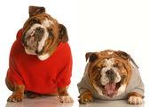English bulldogs — Stock Photo