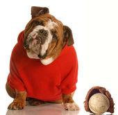 Engelsk bulldogg — Stockfoto