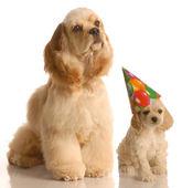 Two american cocker spaniel dogs — Stock Photo