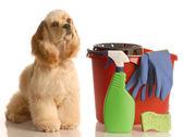 American cocker spaniel dog — Stock Photo