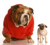 English bulldog, pug puppy — Stock Photo