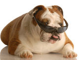English buldog — Stock Photo