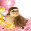 Mallard duck in an easter basket on white background — Stock Photo