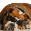 English bulldog wearing blue handkerchief and cool glasses — Stock Photo