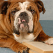 English bulldog mulling over the pages of a novel — Stock Photo