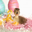 Mallard duck in an easter basket - Stock Photo