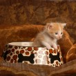Stock Photo: Kitten sitting in pet food dish