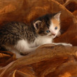 Orphaned three week old kitten — Stock Photo