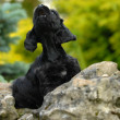 American cocker spaniel puppy sitting on a rock howling - Stock Photo