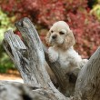 American cocker spaniel puppy standing an a piece of woo -  