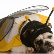 English bulldog dressed up as a bee on white background — Stock Photo #24137773
