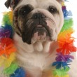 English bulldog dressed up wearing hawaiian le - Stock Photo