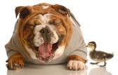 English bulldog laughing at baby mallard duck — Stock Photo