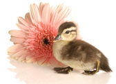 Baby mallard duck with gerbera daisy — Stock Photo