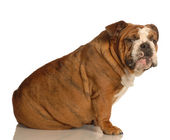 English bulldog sitting with guilty looking expression — Stok fotoğraf