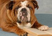 Bulldog anglais, ressassant les pages d'un roman — Photo