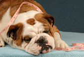 Lazy bulldog with measuring tape draped across her body — Stock Photo