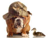 English bulldog with hunting hat sitting beside a baby mallard duck — Stock Photo