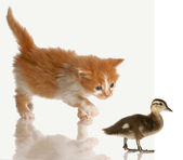 Kitten stalking or hunting a baby duck — Stock Photo