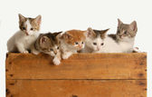 Litter of five kittens in a wooden box — Stock Photo